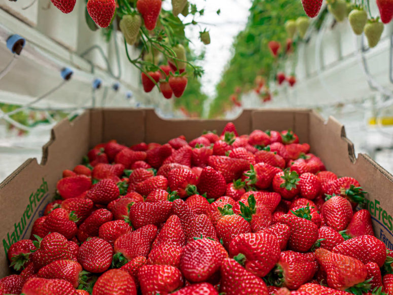 Canadian Greenhouse Grown Strawberries Nature Fresh Farms