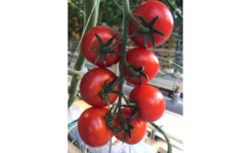 Pure Flavor tomatoes in greenhouse