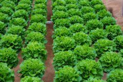 default lettuce