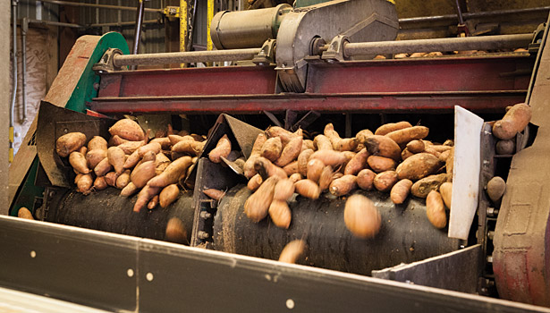 Potatoes coming in, McCain